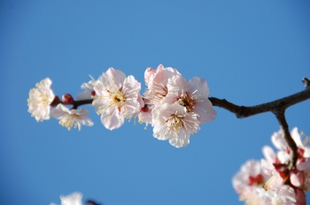 120303Hanegi park apricot-3.jpg