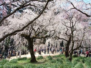 120408新宿御苑桜 (44)_R.JPG