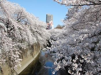 120408江戸川公園桜 (77)_R.JPG
