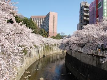 120408江戸川公園桜 入口_R.JPG