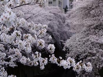 130324神田川桜 (263-2)_R.jpg
